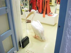 Photo: Meet Petros, the pet pelican who wanders Hora