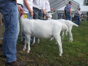 Photo: Rubriek 4: witte lammeren geboren tussen 02-01 en 25-02- 2013.  1a. Nooro's Femke 43.