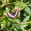 lorquins Admiral