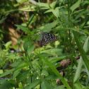淡紋青斑蝶