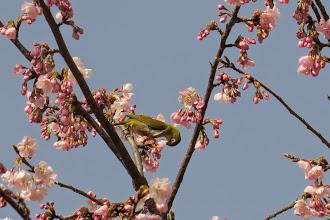Photo: 撮影者:中村后子 メジロ タイトル:メジロ 観察年月日:2015年3月23日 羽数:1羽 場所:北浅川・小田野中央公園 区分:行動 メッシュ:拝島1A コメント:満開の桜の中を飛び回っていた。