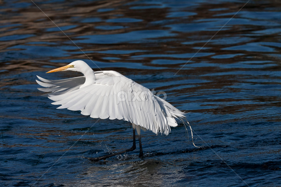 Stick the Landing by Manuel Balesteri - Animals Birds ( bird, fly, wings, pwcmovinganimals, feather )