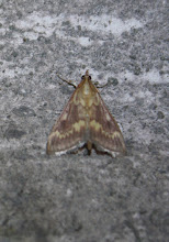 Photo: Ostrinia nubilalis   Lepidoptera > Crambidae