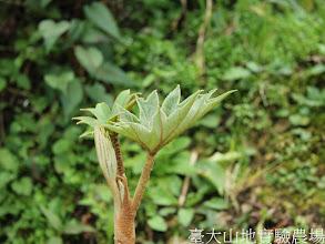 Photo: 拍攝地點: 梅峰-尋寶步道 拍攝植物: 蓪草(長新葉) 拍攝日期:2012_03_02_FY