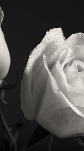 White roses.Black wallpaper