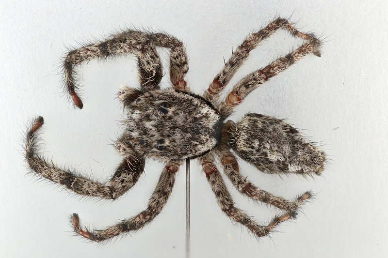 Photo: Platycryptus undatus from Lincoln, NE, USA.