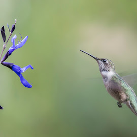 Hummer and Salvia by Sue Matsunaga - Animals Birds