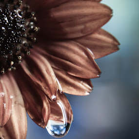 african queen...... (osteospermum). by Tanya Popove - Nature Up Close Natural Waterdrops ( african daisy (osteospermum)., orange, macro, waterdrops, flower )