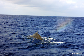 Photo: Yest another whale leaving a qonderful rainbow behind him... Marvelous.