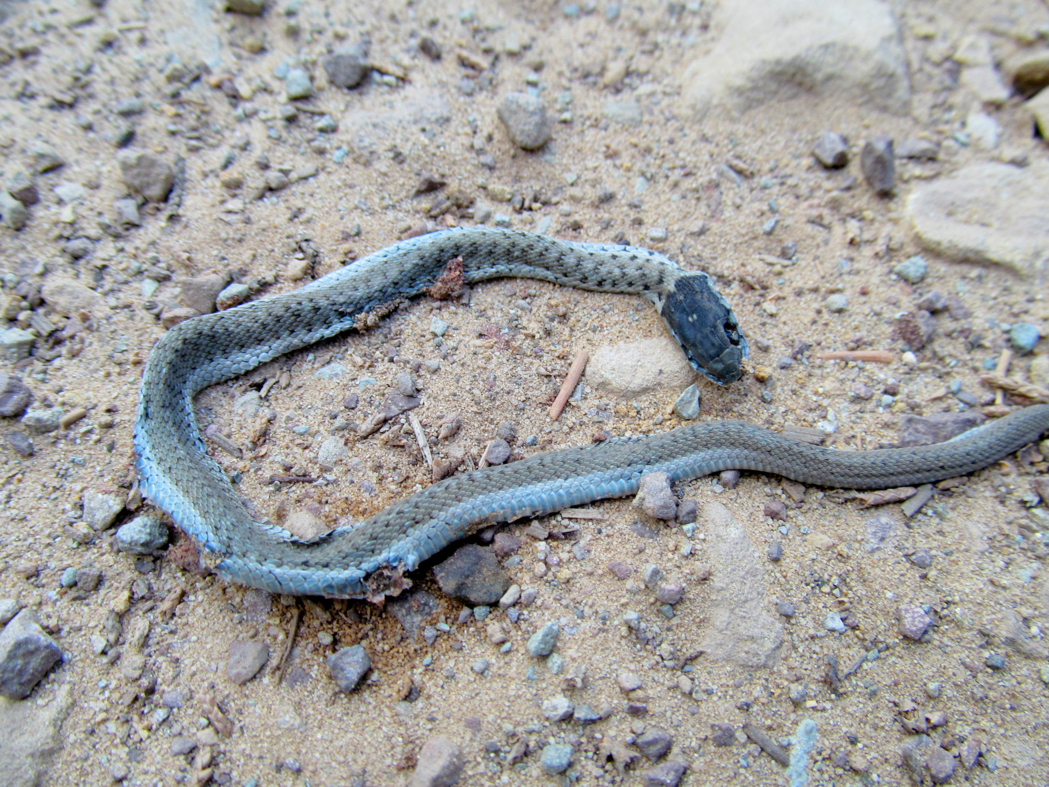 Photo: Tiny dead snake in the road