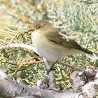 Common Chiffchaff; Mosquitero Común