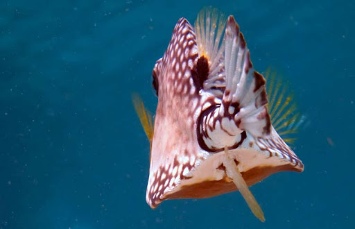 Scuba & snorkeling paradise: A smooth trunkfish spotted in the waters of Klein Curaçao.