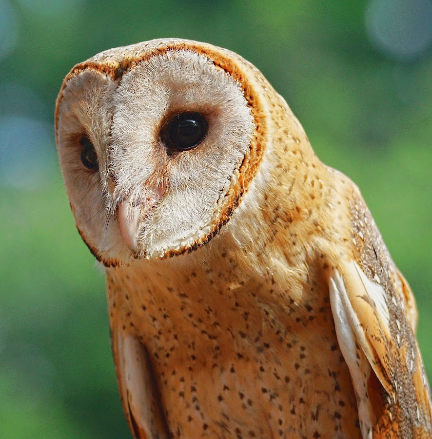 BarnOwl by EH Soh - Animals Birds