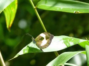Photo: DISSOLVING (LYSIS) MIMIC-WHITE--dismorphia lysis--RIO ANZU--id by Andrew Neild