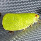 Leaf Mimic Planthopper