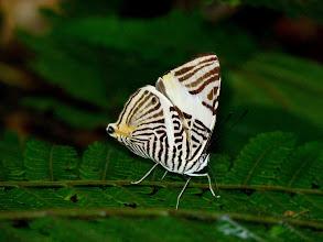 Photo: NEW (ANNULATA) BEAUTY-colobura annulata--EL CAPRICHO TRAIL