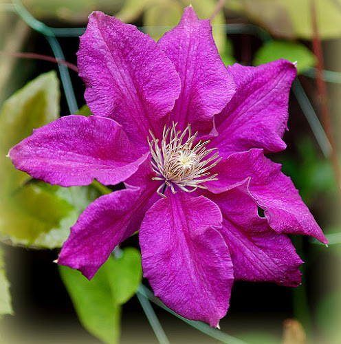 clematis by Caroline Beaumont - Flowers Single Flower ( clematis )