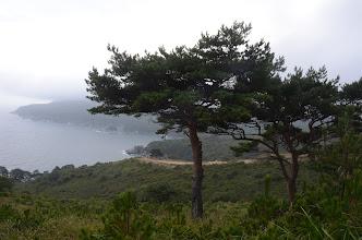 Photo: Pinus × funebris Kom.