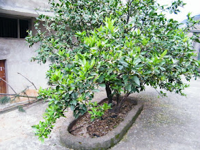 Photo: orange tree in the yard of neighbor of my past dad's house.