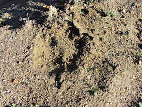 Photo: Large paw print…mountain lion?