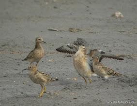 Photo: Displaying Buff-breasted Sandpiper, upper Texas Coast