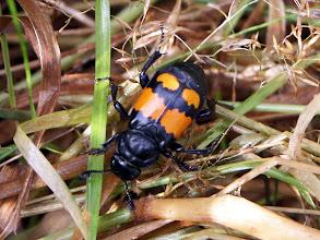 Photo: Nicrophorus Vespilloides.