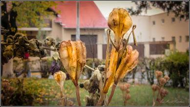 Photo: Crin alb (Lilium candidum) - de pe Calea Victoriei, Bloc B15, spatiu verde - 2017.10.23