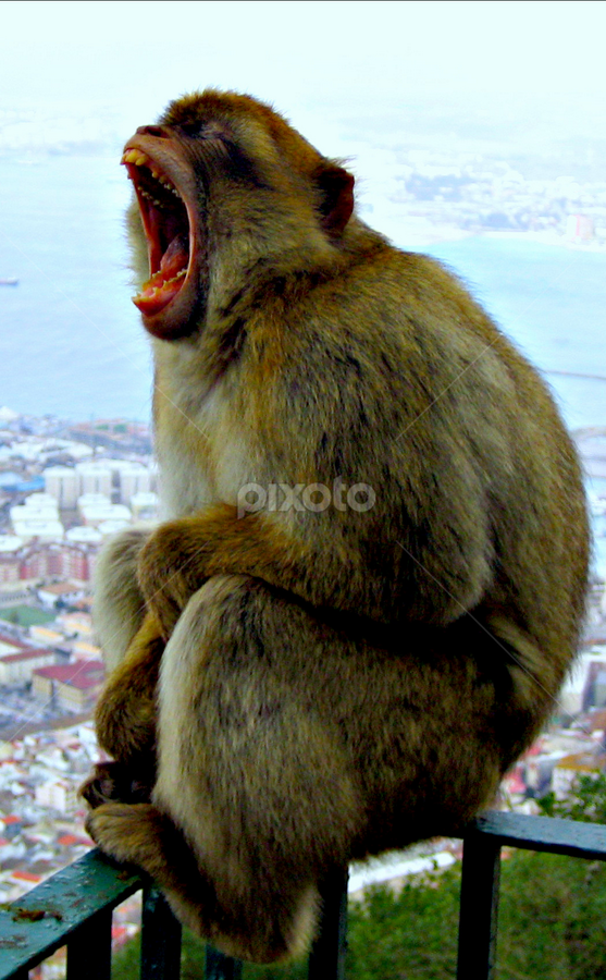 Monkey Yawn by Jacob Uriel - Animals Other Mammals ( gibraltar, barabary ape, spain, monkey )