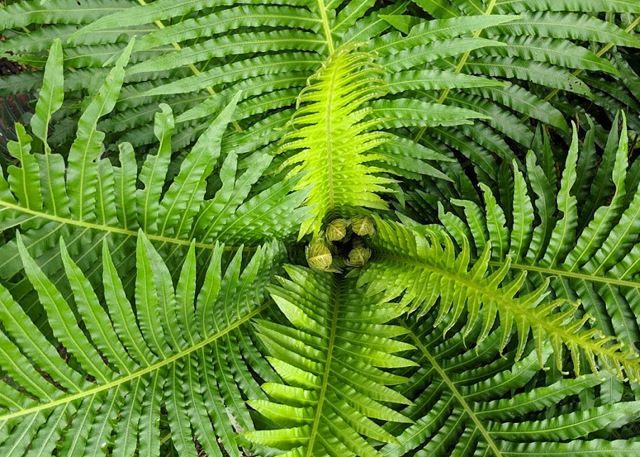 Ferns unfurling by Lee Newman - Nature Up Close Leaves & Grasses ( foliage, green, gardens, ferns, geometric, rainforest,  )