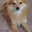 Pomeranian Dogs Wallpapers icon