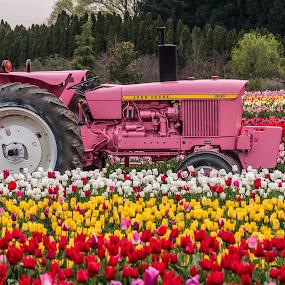 John Deere Gr..., er, uh, Pink? by Craig Pifer - Transportation Other ( john deere, pink, tulips, transportation, tractor, flower, wooden shoe tulip farm )