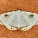 Argyrotome alba moth