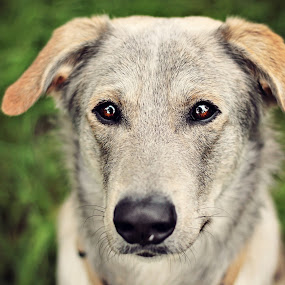 Grey dog... by Hanna Králíková - Animals - Dogs Portraits ( grey, dog )