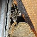Winter Moth