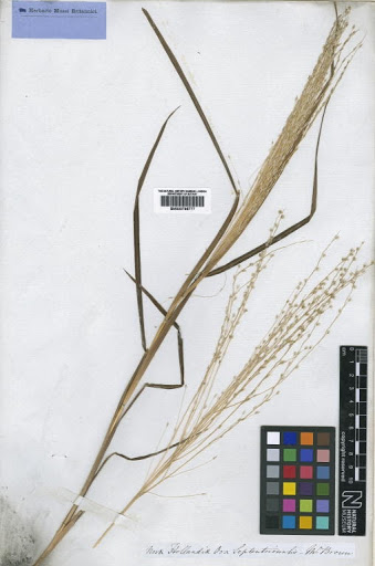 Digitaria papposa (R.Br.) P.Beauv.