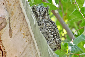 Photo: Whiskered Screech-Owl (fledgling 1)
