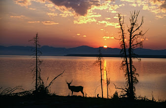 Photo: Deer on the edge of Lake Yellowstone at dusk - Yellowstone Nation Park, Wyoming