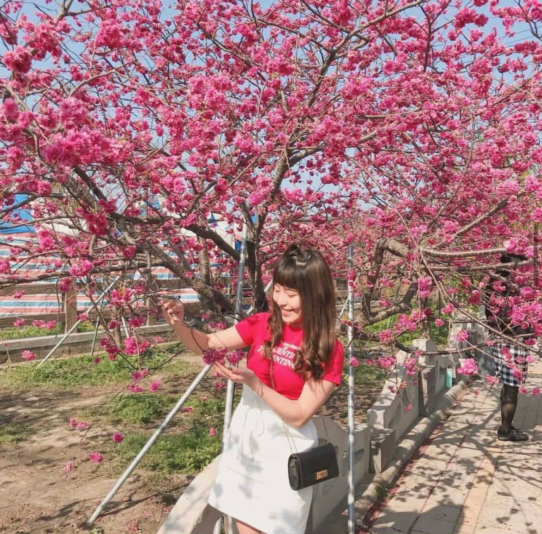 台中賞櫻景點:台中后里泰安櫻花季