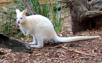 Photo: 'Painted Wallaby', Tasmania