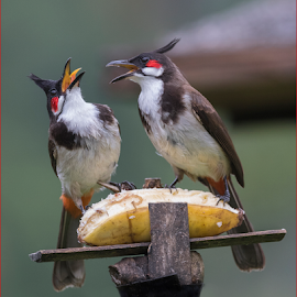 Fight for food by Kishore Bakshi - Animals Birds ( fightforfood, birds, bulbul, fight, food,  )