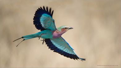 Photo: Lilac Breasted Roller RJB Tanzania, Africa Tours Nikon D800 ,Nikkor 200-400mm f/4G ED-IF AF-S VR 1/1600s f/4.0 at 400.0mm iso200