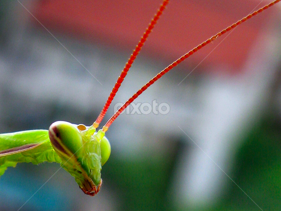 How are you? by Daliana Pacuraru - Animals Insects & Spiders ( macro, close up. daliana pacuraru, mantis, insects, eyes,  )