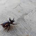 Three Horned Beetle