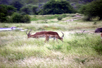 Photo: Two impalas