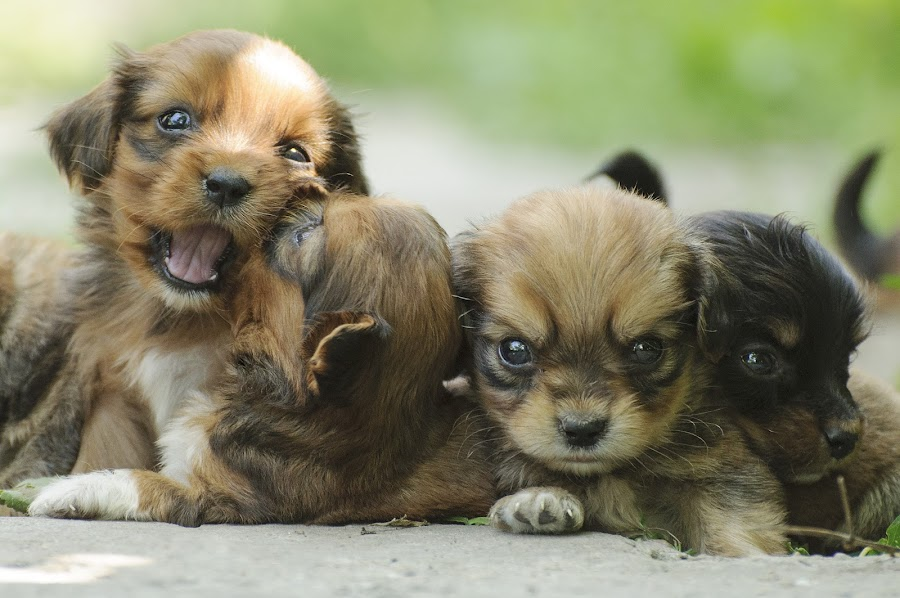 How many puppies are in this photo? by Daniel Grecu - Animals - Dogs Playing (  )