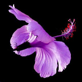Hibiscus by SANGEETA MENA  - Flowers Flowers in the Wild (  )