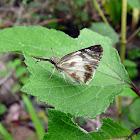 Herperidae Butterfly - Mariposa Hesperide