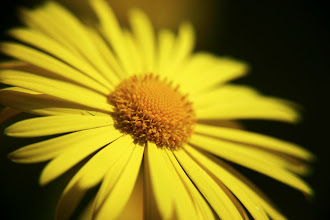Photo: Doronicum - prints/cards available here - http://www.inspiraimage.com/index.php/gallery/flowers/214-yellow-doronicum-ii