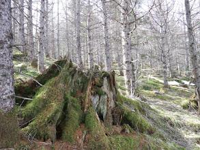 木の根も苔に覆われ