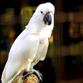 portrait of a parrot by Chris Olivar - Animals Birds